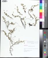 Image of Micranthemum umbrosum