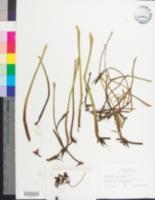 Image of Lilaeopsis carolinensis