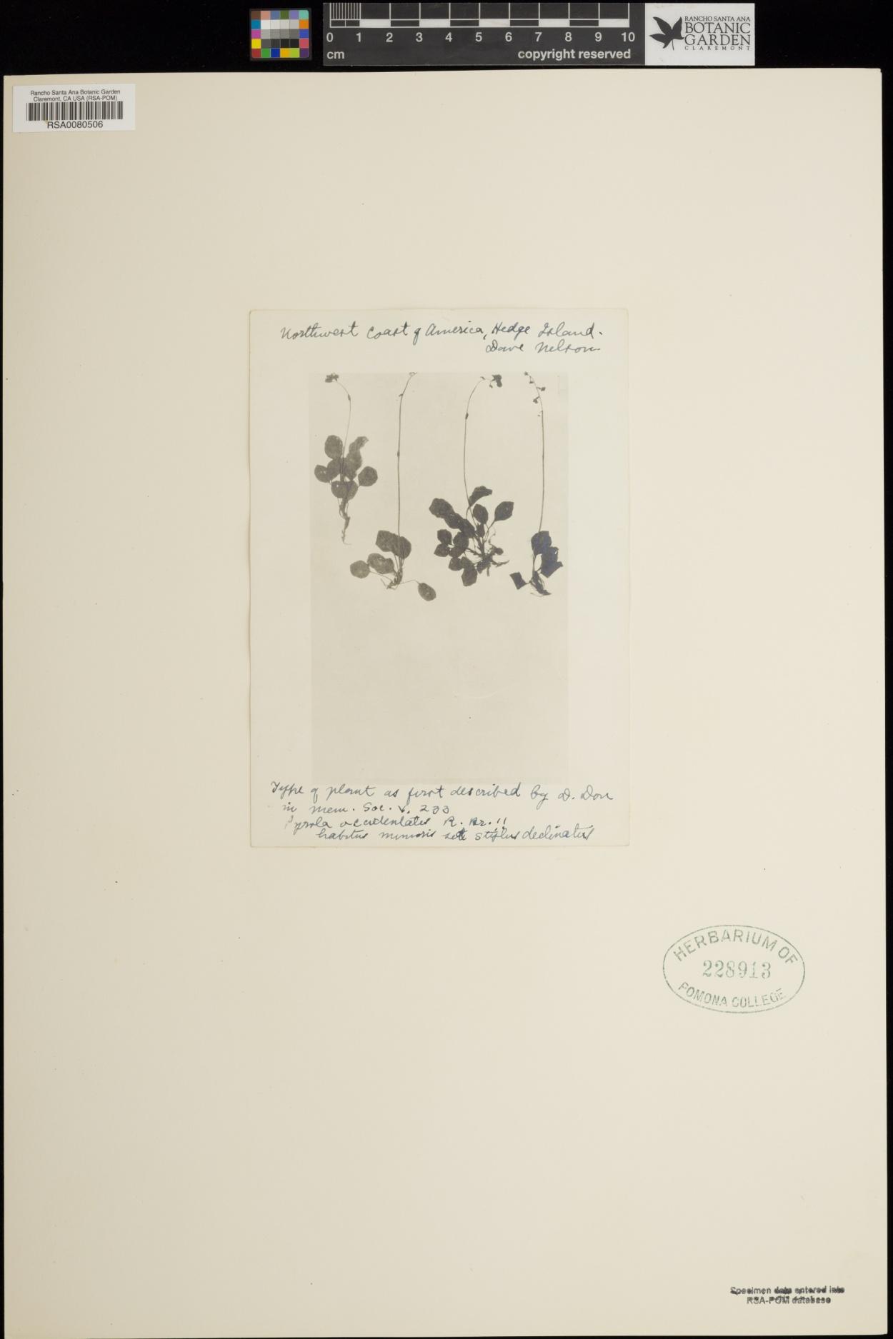 Pyrola occidentalis image
