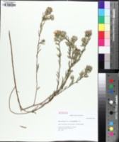 Image of Symphyotrichum pratense