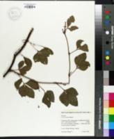 Image of Cissus trianae