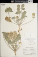 Pediomelum megalanthum var. retrorsum image