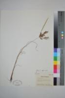 Cyperus iria image
