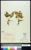Asplenium abscissum image