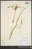 Image of Panicum altum