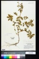 Chamaesyce hyssopifolia image