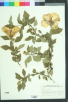 Hibiscus syriacus image