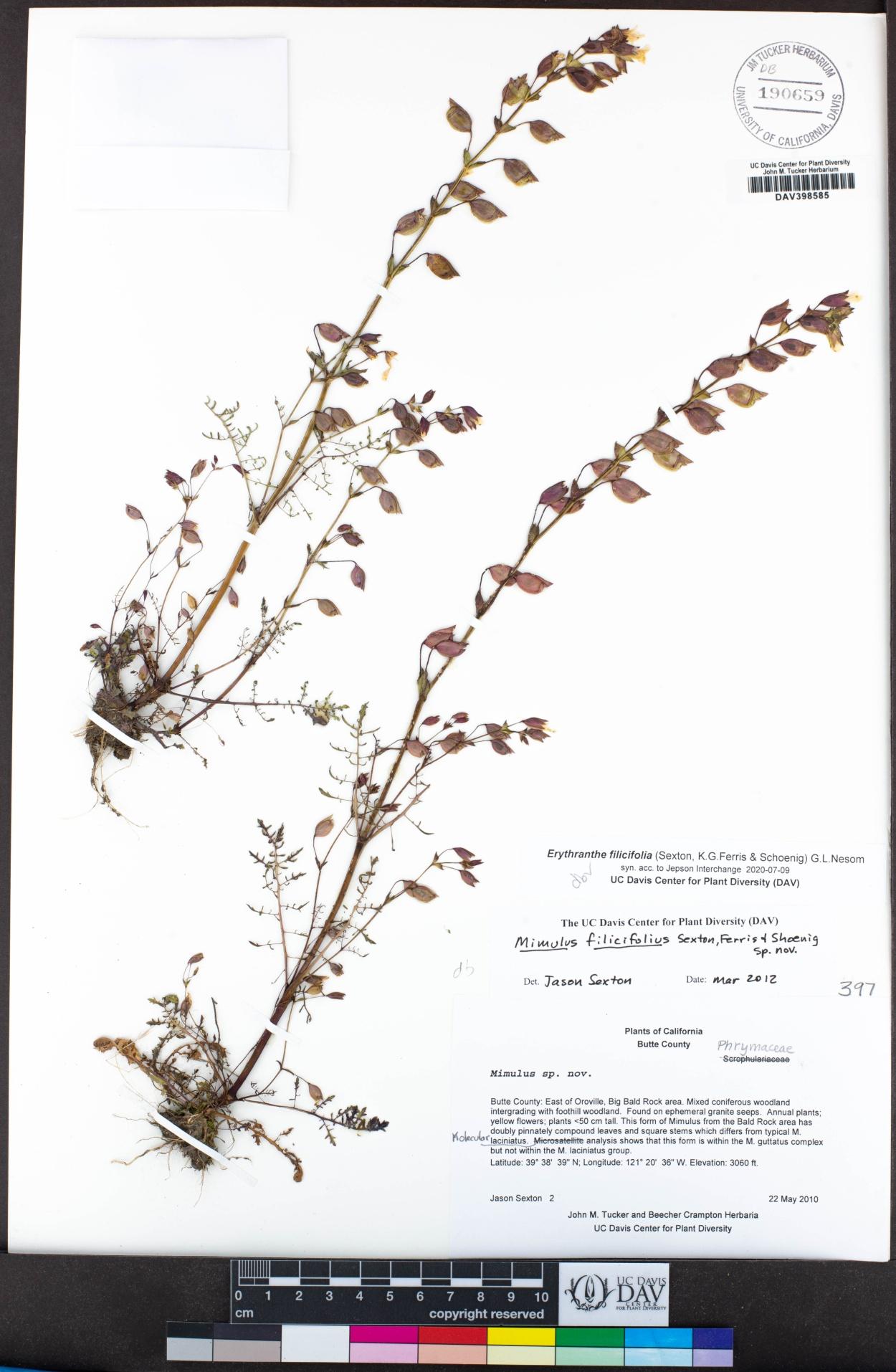 Erythranthe filicifolia image