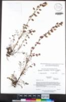 Image of Erythranthe filicifolia