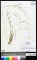 Muhlenbergia arenicola image
