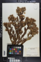 Symphyotrichum elliottii image