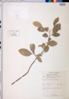 Image of Glycosmis pentaphylla