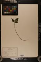 Image of Potentilla quinquefolia