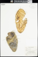 Opuntia ficus-indica image