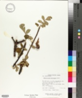 Image of Amphipterygium adstringens