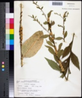 Image of Cuscuta glomerata