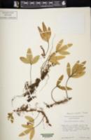 Image of Pleopeltis muenchii