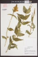 Image of Chelone cuthbertii