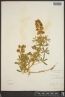 Image of Lupinus lacteus