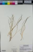 Triglochin scilloides image