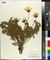 Balsamorhiza serrata image