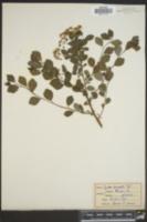 Spiraea × vanhouttei image