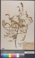 Sophora japonica image
