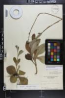 Helianthus radula image