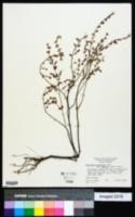 Chamaesyce porteriana image