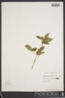 Image of Rubus macropetalus