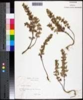 Image of Teucrium botrys