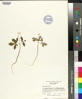 Panax trifolium image