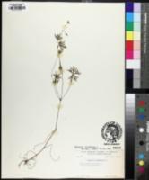 Image of Geranium diffusum