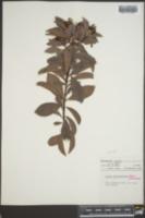 Ardisia escallonioides image