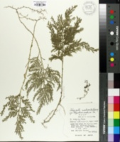 Image of Selaginella tamariscina