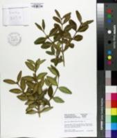 Image of Buxus sinica