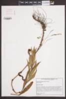 Image of Persicaria hirsuta