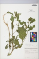 Solanum americanum image
