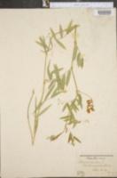 Lathyrus palustris var. linearifolius image