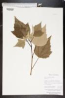 Image of Hibiscus grandiflorus