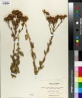 Image of Isocoma veneta