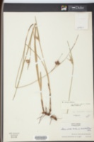 Scleria ciliata var. elliottii image