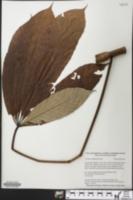 Image of Cecropia sciadophylla