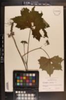 Hydrophyllum canadense image