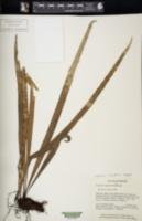 Image of Lepisorus longifolius