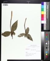 Image of Trillium underwoodii