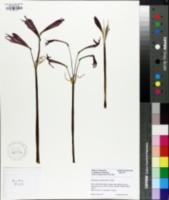 Image of Rhodophiala bifida