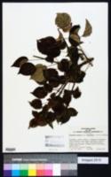 Hydrangea anomala image