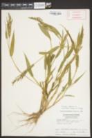 Brachiaria ramosa image