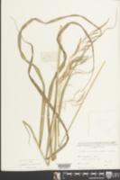 Image of Bothriochloa glabra